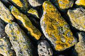 pic of lichenes  - Yellow lichens on the stones of a Dutch sea defense up close on a sunny day at the end of the winter - JPG