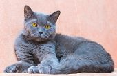 picture of portrait british shorthair cat  - Portrait of an adult cat British breed with yellow eyes - JPG