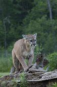 stock photo of mountain lion  - Adult male mountain lion walks along a fallen tree trunk - JPG