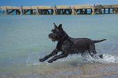 pic of schnauzer  - Big Black Schnauzer dog is running in the sea - JPG