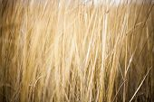 stock photo of dingy  - Unmown dry grass in the field - JPG
