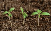 stock photo of semen  - group of small green seedling in the ground  - JPG