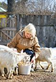 picture of farm  - elderly womanelderly woman feeding goats at the farm on a sunny spring day feeding goats at the farm on a sunny spring day - JPG