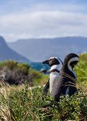 picture of south-western  - African penguins in Simon - JPG