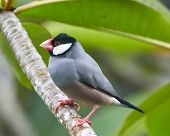 picture of java sparrow  - Java Sparrow Perched on a Plumeria Branch - JPG