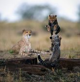 image of mums  - Small kittens of a cheetah play leapfrog on supervision of mum - JPG