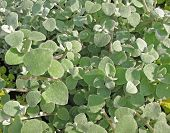picture of pubescent  - Everlasting or immortelle pedicellate  - JPG