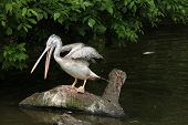 picture of catching fish  - Grey pelican  - JPG