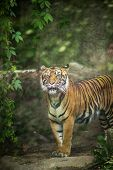 stock photo of transverse  - Closeup of a Siberian tiger also know as Amur tiger  - JPG
