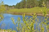 stock photo of willow  - Blooming willow river is in the background - JPG