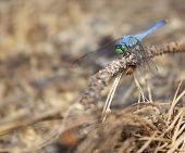 pic of pine-needle  - Blue dragonfly on wood with pine needles underneath - JPG