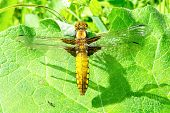 stock photo of dragonflies  - Yellow dragonfly sitting on a green leaf - JPG