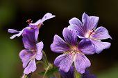 picture of geranium  - Four purple geranium flowers with dark background - JPG