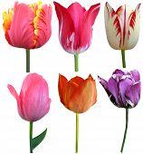 pic of six-petaled  - Set of 6 Tulips Isolated on White Background - JPG
