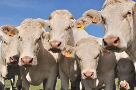 picture of calf  - portrait of charolais cows and calves in meadow - JPG