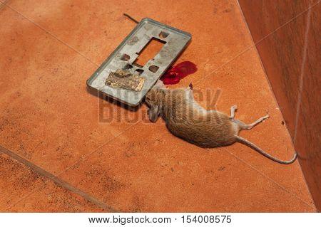 Dead mouse caught