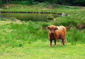 pic of aurochs  - The urus on a green pasture - JPG