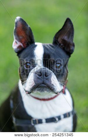 Boston Terrier Closeup Off Leash