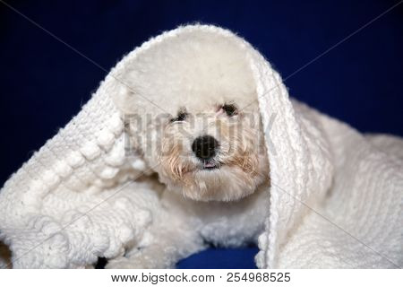 poster of Dog under quilt. White dog under white baby blanket. white dog under white quilt on blue velvet. dog