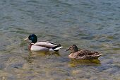 Drake With Female Duck Swimming Togheter In Shallow Water poster