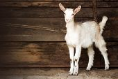 Young White Goat Domestic Animal Is Standing On Brown Background, Goat Breeding Concept. poster
