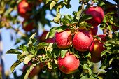 Shiny delicious apples hanging from a tree branch in an apple orchard poster