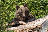 A Brown Bear In The Forest. Big Brown Bear. Bear Sits On A Rock. Ursus Arctos poster
