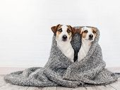 Two dogs under the rug. Friendship of pets at home poster