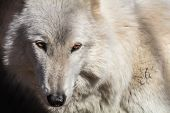 White Arctic Wolf (canis Lupus Arctosportrait) Closeup Has Beautiful Fierce Golden Eyes poster