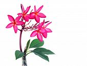 Blooming Red Pink Plumeria Or Frangipani Flower (temple Tree) With Green Leaves Isolated On White, V poster