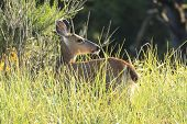 White Tailed Deer In Tall Grass. A White Tail Deer Stands In The Tall Grass In Northwest, Oregon. poster