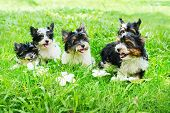 Group Puppy Purebred Black-and-white Biewer Yorkshire Terrier Pet Sunny Day Grass Meadow. Small Size poster