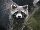 Raccoon - 2