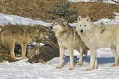 Постер, плакат: Серый волк пакет с их убить