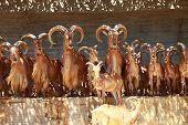 Постер, плакат: Берберийские овцы пастбища на траве Ammotragus Lervia Мадридский зоопарк