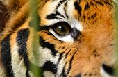 pic of tigers-eye  - this is the eye of bengal tiger - JPG