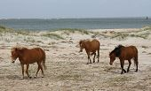 stock photo of threesome  - This threesome resides on Shackleford Banks near the Atlantic Ocean in North Carolina and are part of a group of about 100 wild horses - JPG
