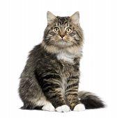 Постер, плакат: Европейская кошка