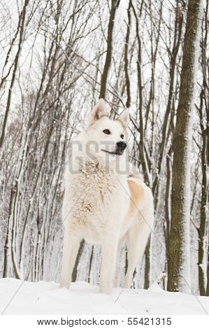 picture or photo of beautiful west siberian laika in white