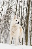 picture of laika  - Beautiful West Siberian Laika in white snow   - JPG