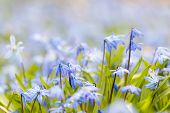 stock photo of early spring  - Spring background with early blue flowers glory - JPG