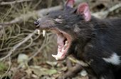 stock photo of growl  - the tasmanian devil is growling and snarling fiercely