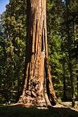 Tall And Big Sequoias