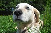 picture of cataracts  - Old blind Labrador dog with cloudy eyes caused by cataracts in both eyes - JPG
