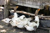 image of trough  - Drinking trough for geese made from old tire in Romanian Banat - JPG