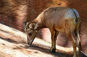 picture of goat horns  - Bighorn sheep eating mountain goat with horns - JPG
