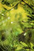 stock photo of spiderwebs  - Morning light shining through through leaves and a spiderweb covered in due - JPG