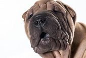 stock photo of shar pei  - chinese shar pei head portrait isolated on white background - JPG