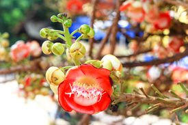 picture of cannonball-flower  - Closeup of Cannonball flower in Thai temple.