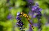 picture of spread wings  - A dragonfly spreads wings on violet flower  - JPG
